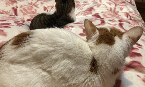 自宅で仕事しながら猫と暮らすメリットとデメリット
